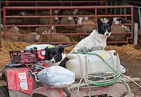 Border Collie sheepdogs sitting on an ATV in a farmyard, Welshpool, Powys.