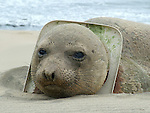 Elephant seal with toilet seat on neck, ANSP