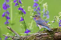 01377-17805 Eastern Bluebird (Sialia sialis) female in flower garden, Marion Co., IL