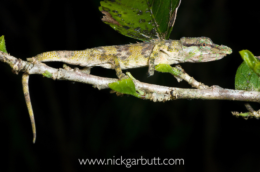 Small Rainforest Chameleon (Calumma fallax). Ranomafana National Park, Madagascar.