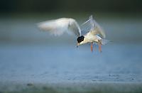 Forster's Tern, Sterna forsteri, adult, Welder Wildlife Refuge, Sinton, Texas, USA, June 2005