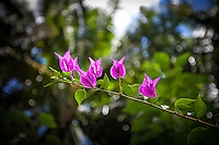 Bougainvillea at Tauono's Garden, Aitutaki Island, Cook Islands.
