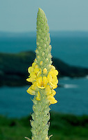 GREAT MULLEIN Verbascum thapsus (Scrophulariaceae) Height to 2m. Robust, upright biennial that is covered in a thick coating of white, woolly hairs. Grows in dry, grassy places, on roadside verges and waste ground. FLOWERS are 15-35mm across, 5-lobed and yellow, with whitish hairs on the upper 3 stamens only; borne in tall, dense spikes, sometimes with side branches (Jun-Aug). FRUITS are egg-shaped capsules. LEAVES are ovate and woolly; form a basal rosette in 1st year from which tall, leafy stalks arise in 2nd. STATUS-Widespread and locally common.