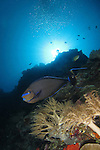 Siaes Tunnel, Palau -- Bignose unicornfish, Naso vlamingii, on a sea wall.