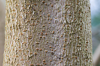 Feld-Ahorn, Feldahorn, Rinde, Borke, Stamm, Baumstamm, Ahorn, Acer campestre, Field Maple, Hedge Maple, bark, rind, trunk, stem, Erable champêtre
