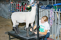 Hannah Rogers, of Wilton, Iowa, 13, wraps the legs of her crossbred ewe lamb Frannie after competing in the Intermediate 4-H Sheep Showmanship competition in the Sheep Barn at the Iowa State Fair in Des, Moines, Iowa, on Sun., Aug. 11, 2019. Rogers placed 4th overall in the showmanship competition. Wrapping the legs, she says, protects the animal from shavings and dirt in the pens and keeps the leg hair nicer.