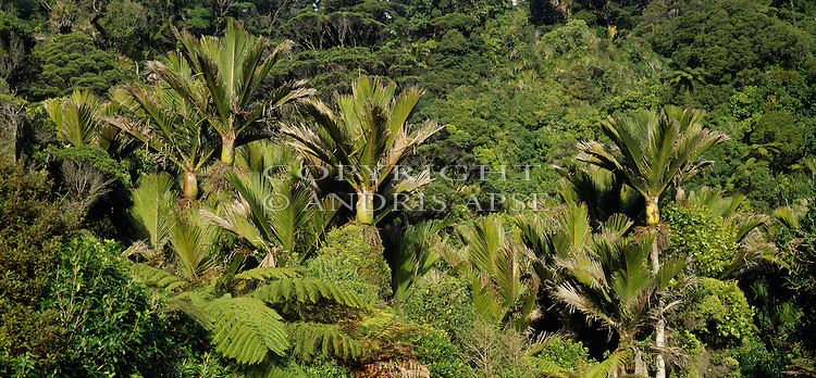Nikau Palms in Kahurangi National Park. Tasman Region. New Zealand.