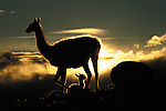 Making a dramatic silhouette a gaunaco and her cria rest in Torres del Paine National Park in Chile. Guanacos survive in both mountain and plains habitats.  Their hemoglobin has a much higher affinity for oxygen than that of other mammals, allowing them to function at high altitudes (up to 4,800 meters). The guanaco cria weighs 8 to 15 kilograms at birth and can run almost immediately.