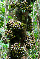 A good example of a Cluster Fig Tree (Ficus) -It is unusual in that its figs grow on or close to the tree trunk, termed cauliflory. Danum Valley, Sabah (Borneo) Malaysia.