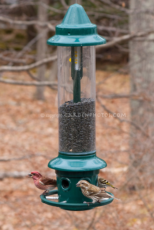 Birdfeeder and birds, no snow in winter with deciduous trees, purple finches male and female, pine siskin