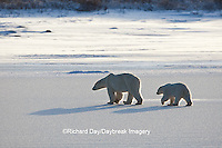 01874-12303 Polar Bear (Ursus maritimus) mother and cub near Hudson Bay  in Churchill Wildlife Management Area, Churchill, MB Canada