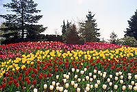 White Tulips / Tulip, Red Tulips, Yellow Tulips and Pink Tulips in bloom,  Spring Flowers blooming in Flower Garden and Bed