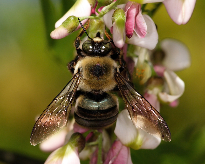 Carpenter bees are large, black and yellow bees frequently seen in spring.