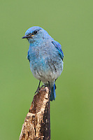 Male Mountain Bluebird perched on a stick in a field