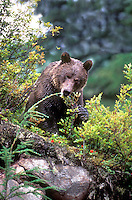 609680008 a wild brown bear ursus arctos feeds on wild berries near the town of hyder in southeast alaska