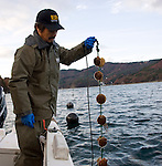 Hiromitsu Ito of Oh! Guts! pulls up a line of juvenile scallops from the bay at Ogatsu, Ishinomaki, Miyagi Prefecture, Japan on 01 Dec 2011. .Photographer: Robert Gilhooly