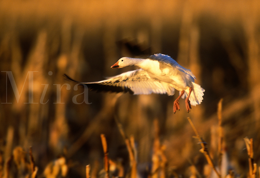 Snow goose landing in corn fields, early evening light, at Bosque del Apache, New Mexico