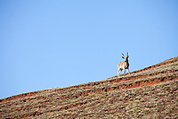 Comon Reedbuck, Giants Castle, South Africa.
