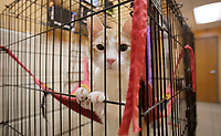 NWA Democrat-Gazette/DAVID GOTTSCHALK A cat stands up in her kennel Friday, January 5, 2018, outside the Cat Room at the City of Springdale Animal Services building.
