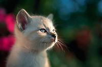 Portrait of a Himalayan tabby kitten.