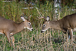 White-tailed bucks (Odocoileus virginianus) prior to sparring