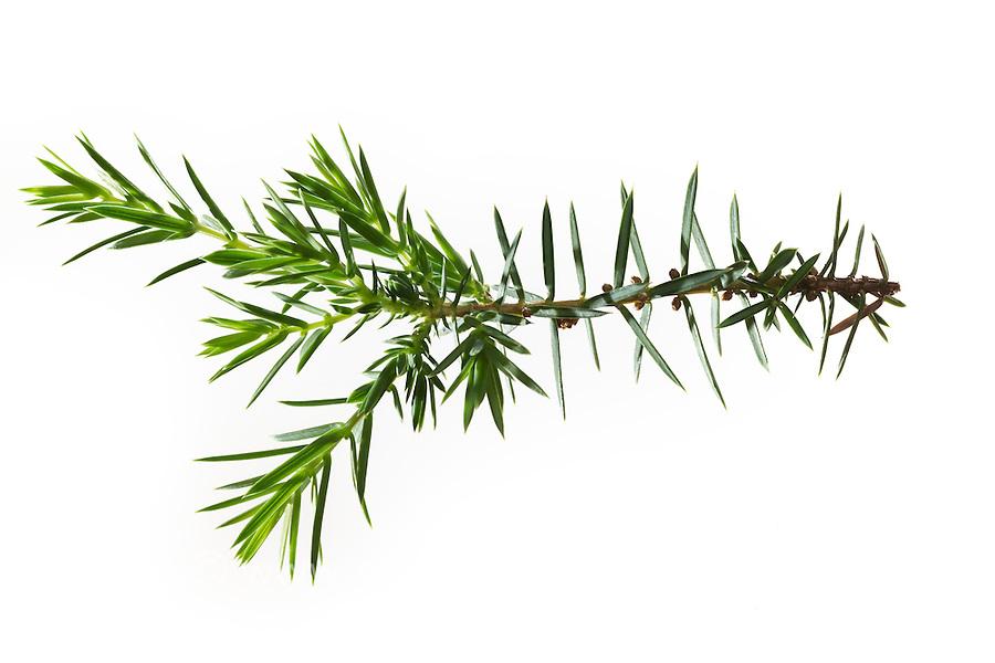Gemeiner Wacholder, Heide-Wacholder, Heidewacholder, Juniperus communis, Common Juniper, Le Genévrier commun, Genièvre