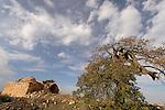Judea, Cyprus Oak tree in Beth El by the Tomb of Sheikh Abdullah