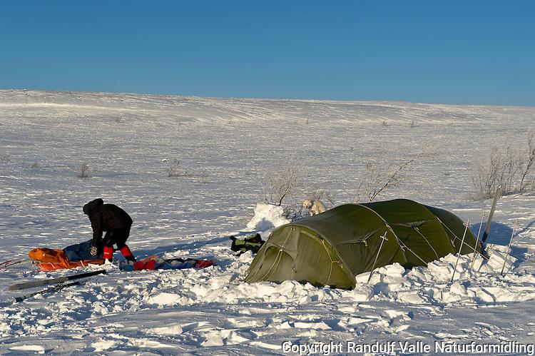 Mann pakker pulk foran teltet en gnistrende vinterdag på Finnmarksvidda. ---- Man packing sled.