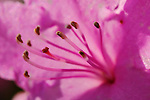 Fuschia Purple Rhododendron Stamen Macro