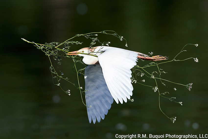 Cattle Egret in flight with nesting material.