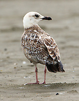 First-cycle lesser black-backed gull