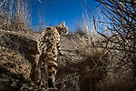 Black-footed Cat (Felis nigripes) male emerging from den in grassland, Benfontein Nature Reserve, South Africa