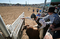 Bull rider in action as the bucking chute is opened.  Mareeba Rodeo, Mareeba, Queensland, Australia