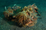 Estuary stonefish pair, Synanceia horrida, Lembeh Strait, Bitung, Manado, North Sulawesi, Indonesia, Pacific Ocean