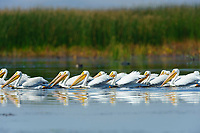 Flock of American White Pelicans (Pelecanus erythrorhynchos) foraging in a wetland during fall migration. Malheur County, Oregon. September.