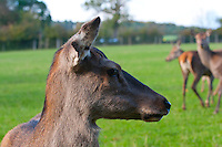 Red Deer hind close-up.Yorkshire.