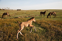 A frisky foal kicks and romps in circles around the rest of the Gila herd.<br /> They live at the International Society for the Protection of Mustangs and Burros in North Dakota. <br /> Three herds are  cared for at the oldest wild horse organization founded in 1960.  Karen Sussman is the third president. Wild Horse Annie, Velma Johnston, was the first. Annie, along with Helen Reilly worked together for the passage of the 1971 Wild Horses and Burros Act to protect horses from slaughter and inhumane treatment.