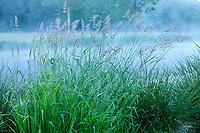 France, Maine-et-Loire (49), Brissac-Quincé, château de Brissac, graminées sur les bords du ruisseau de Montayer le matin