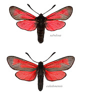 Transparent Burnet - Zygaena purpuralis<br /> top = ssp. sabulosa<br /> bottom = ssp. caledonensis<br /> 54.004 BF172