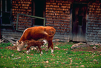 Dairy cow and calf feeding.