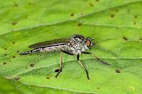 Raubfliege, Strauchdieb, Weibchen, Neoitamus spec., robberfly, robber-fly, Raubfliegen, Mordfliegen, Asilidae, robberflies, robber flies