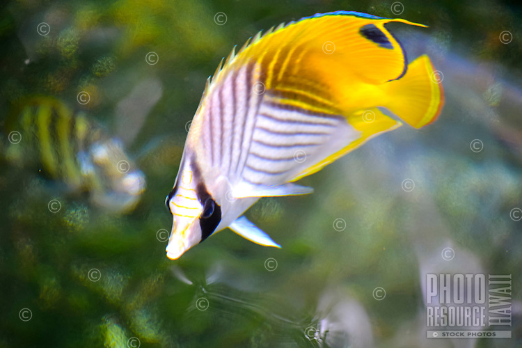 A Hawaiian butterflyfish (or kikakapu) enjoys the warmth of the sun coming through the water's surface, Big Island.