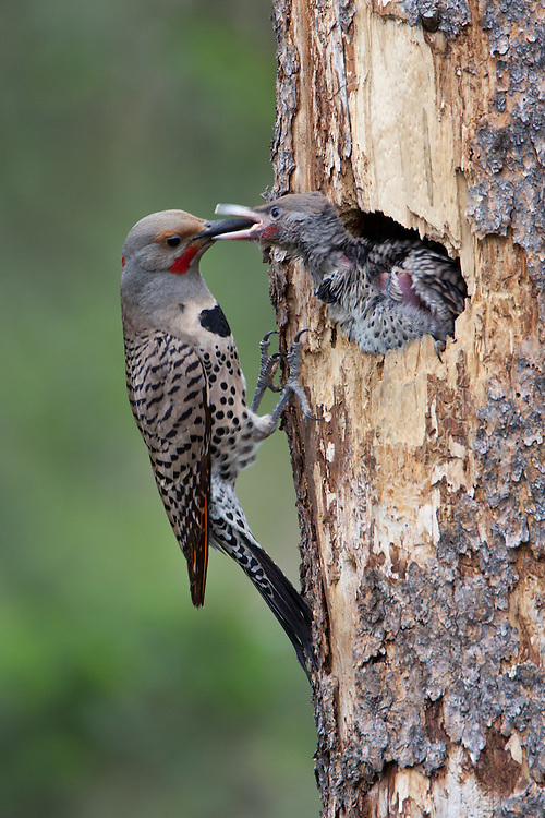 Northern Flicks at tree cavity