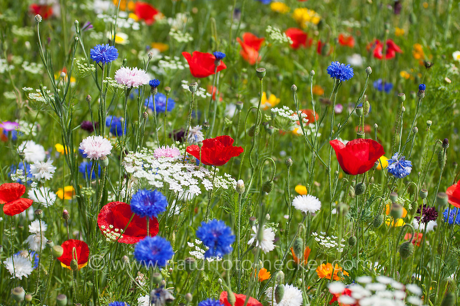 Blumenwiese, Beet, Blumenbeet, Wildkräuter-Wiese, Wildkräuter, bunte Vielfalt, mit Mohn, Kornblumen, flowerbed, flower-bed, flower bed, flowery meadow, Flower meadow, poppy, cornflower, bluebottle