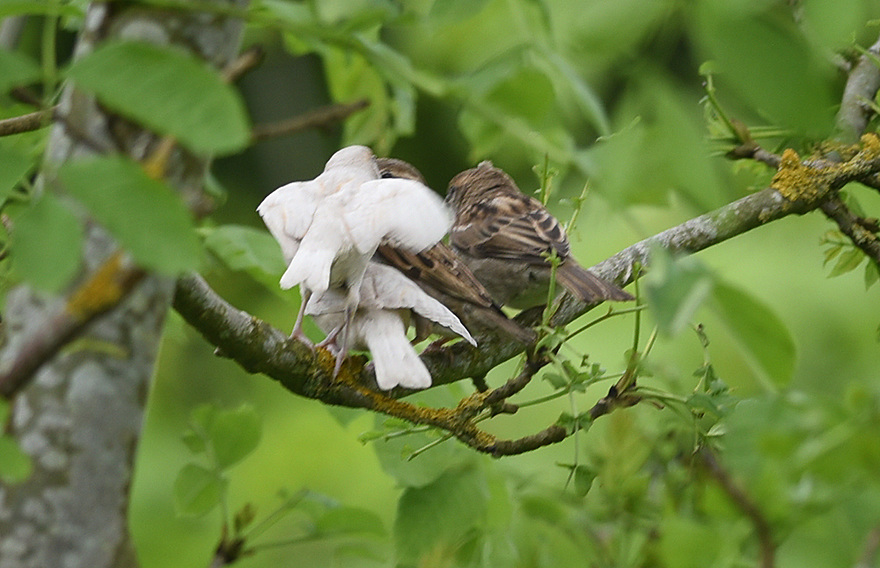 ALBINO HOUSE SPARROW FLEDGLINGS WITH THEIR MOTHER. PHOTO BY CLARE KENDALL. 07971 477316