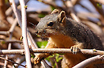 California Ground Squirrel Foraging for Spring Buds, Close Portrait, Descanso Gardens, Southern California