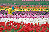 Worker with picked tulips in tulip field. Tulip Town. Mt. Vernon. Washington
