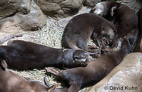 0307-1104  Baby Otters, Oriental Small-clawed Otter (Asian Small-clawed Otter), Aonyx cinerea  © David Kuhn/Dwight Kuhn Photography