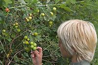 Junge beobachtet Eichengallen, Eichen-Gallen, Gemeine Eichengallwespe, Eichen-Gallwespe, Eichen - Gallwespe, Gallen, Galle an den Blattunterseiten einer Eiche, Cynips quercusfolii, common oak gallwasp, oak leaf cherry-gall cynipid, cherry gall