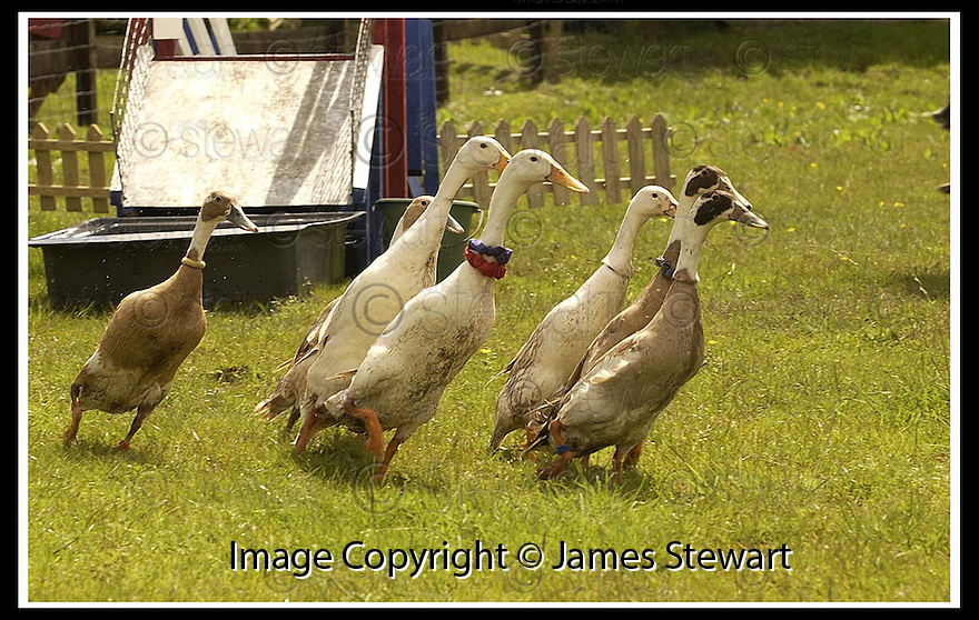 03/06/2002                   Copyright Pic : James Stewart.File Name : stewart-jubilee ducks 12.DONALD DUCK LEADS THE FIELD TO WIN HIS SECOND RACE AT THE JUBILEE DUCK RACE IN ABERFOYLE.....(see copy from George Mair / Tim Bugler).....Payments to :-.James Stewart Photo Agency, 19 Carronlea Drive, Falkirk. FK2 8DN      Vat Reg No. 607 6932 25.Office     : +44 (0)1324 570906     .Mobile  : +44 (0)7721 416997.Fax         :  +44 (0)1324 570906.E-mail  :  jim@jspa.co.uk.If you require further information then contact Jim Stewart on any of the numbers above.........